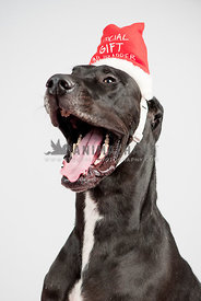 Excited Great Dane Wearing Christmas Hat