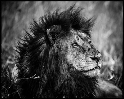 4337-Dreamy_lion_Kenya_2013_Laurent_Baheux