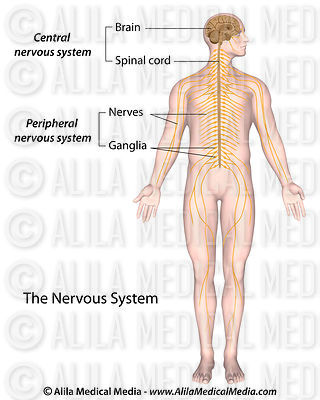 The nervous system labeled.