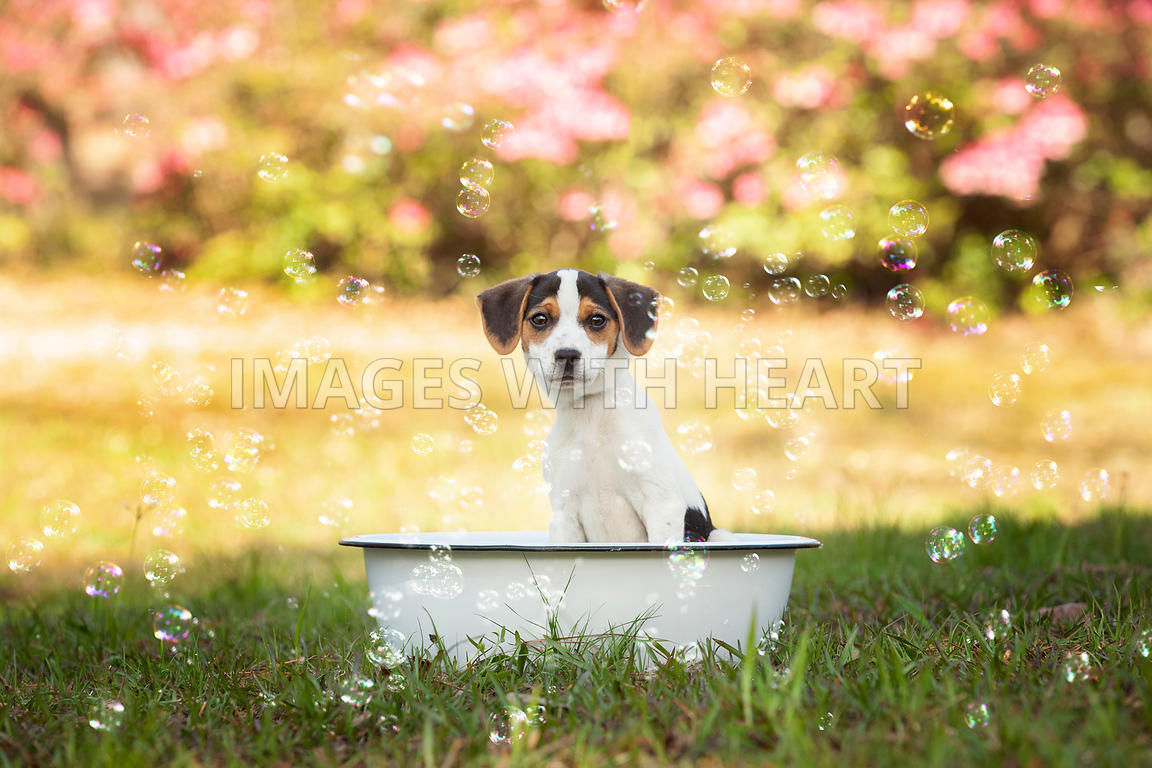 Dog in bath pan with bubbles looking at camera