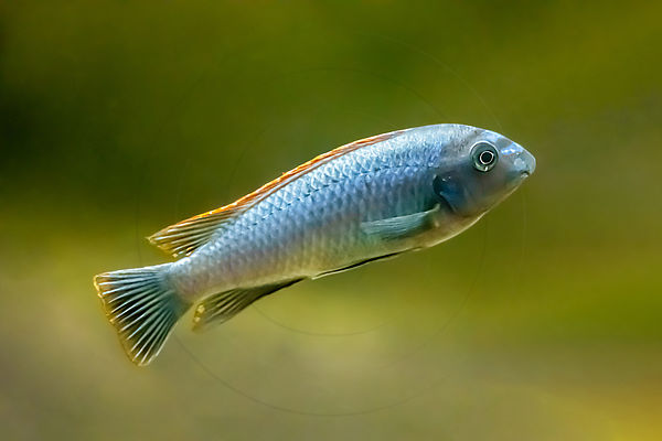 Labeotropheus nageant dans un aquarium