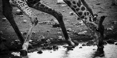 6767-Giraffe_drinking_in_the_river_Laurent_Baheux