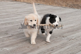 Border Collie and Golden Retriever playing with stick on the boardwalk