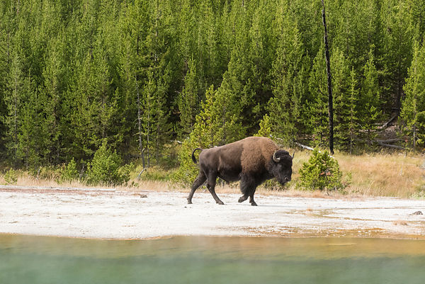 Bison and Emerald Pool, Yellowstone National Park