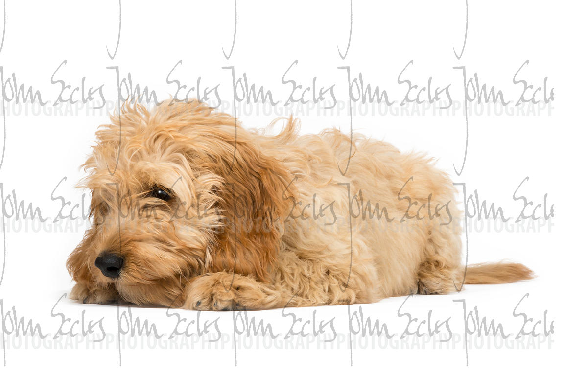 Four month old Cockapoo puppy laying with white background.