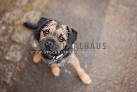 border terrier puppy looking up at camera