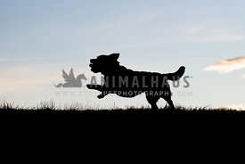 Silhouette of happy dog with toy