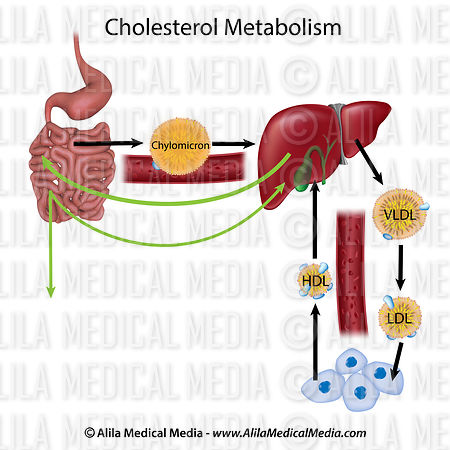 Cholesterol metabolism, unlabeled.