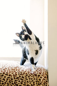 adult black and white cat stands bya bright window with left paw lifted and stretched high up waving