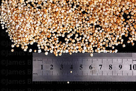 Close up of processed dried quinoa grains ( Chenopodium quinoa ) with ruler to show size , isolated on black background