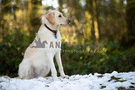Profile of yellow lab dog in the forest in snow