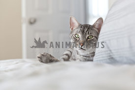 silver tabby relaxing on bed