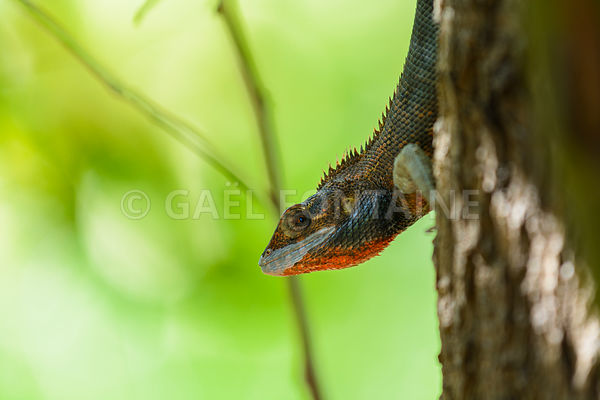 Lizard on tree at Reunion Island