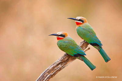 White-fronter Bee-eater