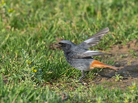 Black Redstart, Phoenicurus ochruros, male wintering around Sheringham North Norfolk January
