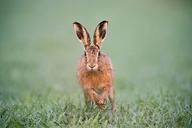Brown Hare Lepus europaeus on wheat field Holt Norfolk spring