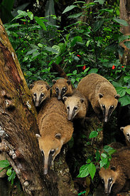 Family of Southern coatis (Nasua nasua) in Atlantic Rainforest, Tijuca National Park, Rio de Janeiro City, Southeastern Brazil.