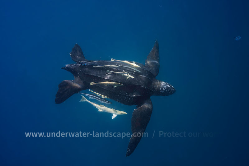 Leatherback sea Turtle in Nosy Be