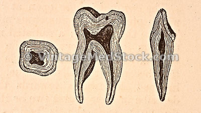 Teeth | molar & incisor