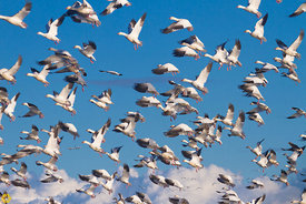 Snow Geese Taking Flight #2