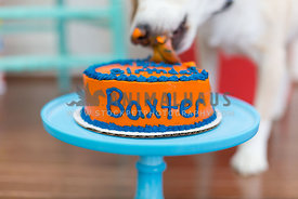 Close up of a dog licking birthday cake