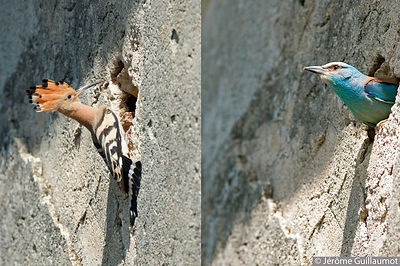 Hoopoe and Roller : a strange cohabitation (June 2014)