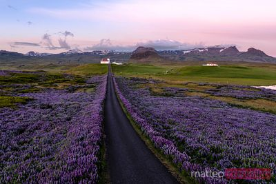 Aerial drone view of lupin fields and church, Snaefellsnes, Iceland