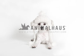 Small white dog wearing white winter hat against a white background