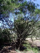 Leptospermum variabile, Tea Tree