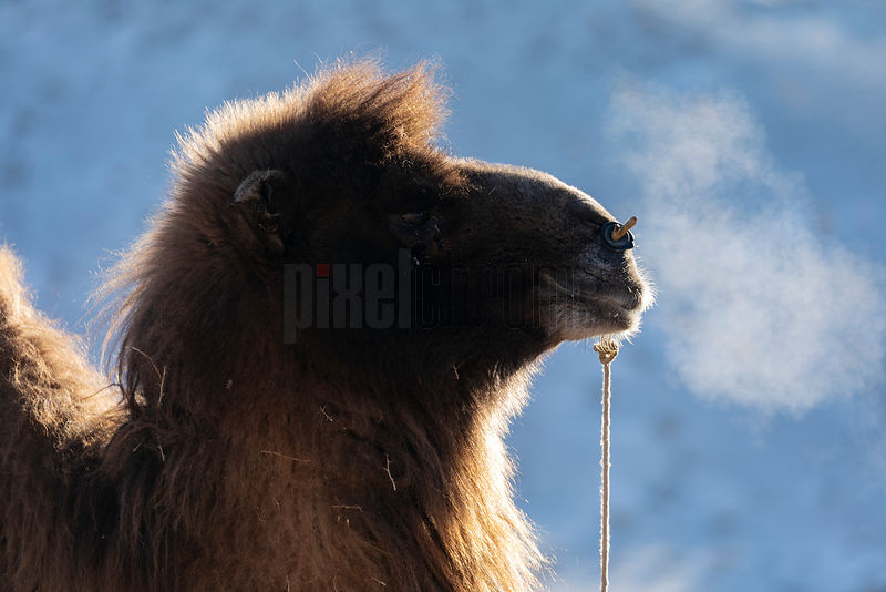 Portrait of a Bactrian Camel.