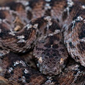 ecailles-photo de serpent - photos reptiles-pierre vergnaud-47