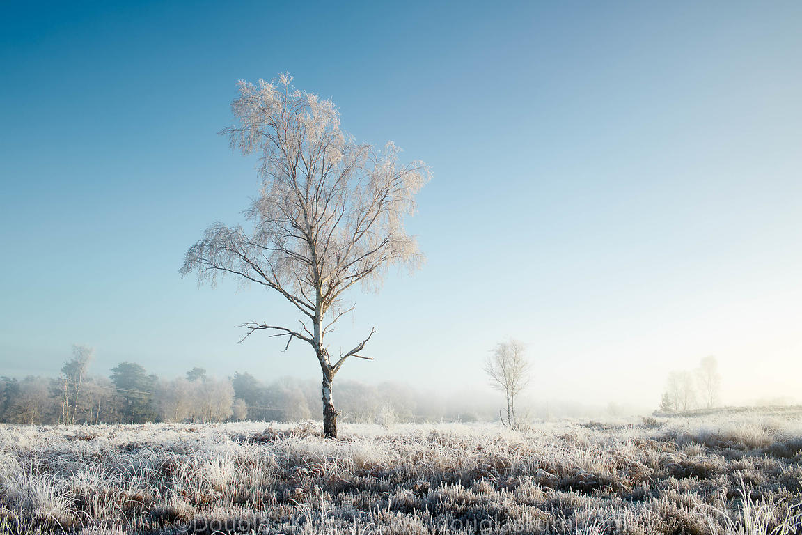 Limited edition Giclée fine art print of a frost covered silver birch tree on Chobham Common