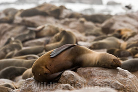 Cape Fur seal having a nap on a rock, Arctocephalus pusillus pusillus, Cape Cross Seal Colony, Skeleton Coast, Namibia; Lands...