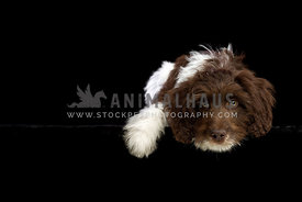Sproodle puppy in the studio against black background