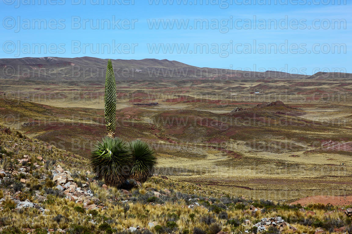 Puya raimondii in flower near Comanche , Bolivia