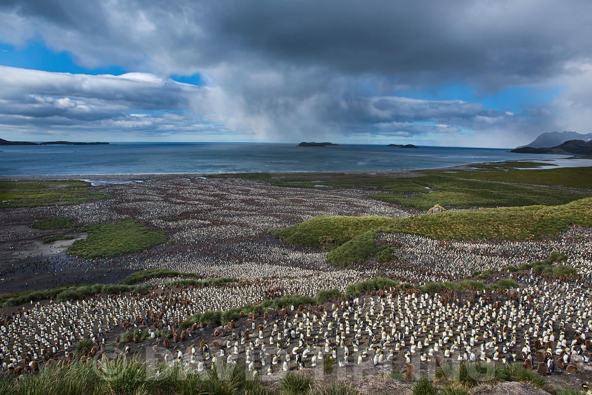 Looking down on the vast King Penguin (Aptenodytes patagonicus) colony at Salisbury Plain on South Georgia.  Estimated breeding population of 250,000 to 300,000 pairs and increasing.  The brown stripes within the colony are groups of juveniles known as Oakum boys.