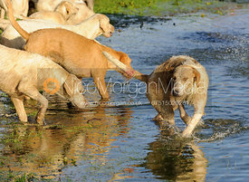Hounds drink from the pond at Launde Abbey - The Cottesmore Hunt at Tilton on the Hill, 9-11-13