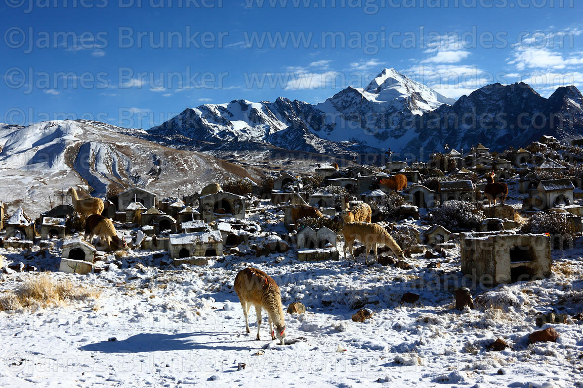 Llamas (Lama glama) grazing in Milluni cemetery after fresh snowfall and Mt Huayna Potosi, Cordillera Real, Bolivia
