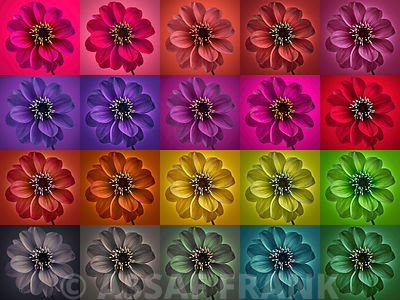 Collage of multicolored Dahlia