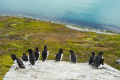 Little auk colony, Alle alle, Magdalenefjord, Spitsbergen, Svalbard, Arctic