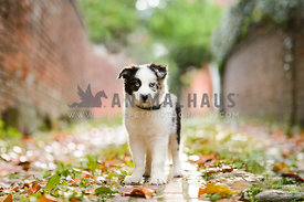 border collie puppy in cobblestone alley with leaves