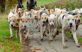 Quorn fox hounds