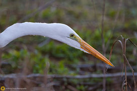 Great Egret on the Hunt