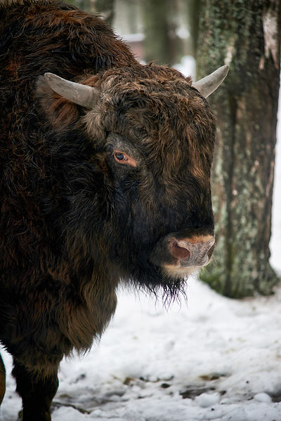 European Bison (Zubr) in the snow