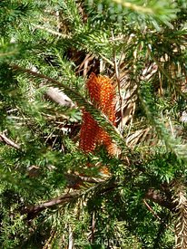 Banksia ericifolia, Red Clusters