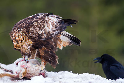 Golden Eagle Eating European Hare