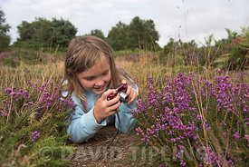 Young girl photographing heather on heath, Kelling Heath Norfolk summer