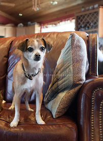 small dog standing on a leather couch