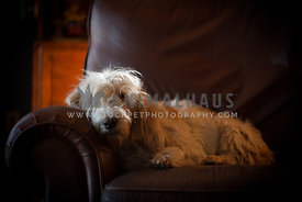 pbgv lying on leather couch with dramatic light