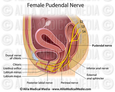 Pudendal nerve in female lateral.